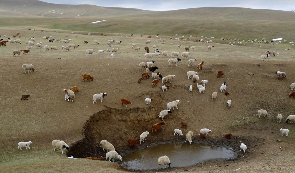 Moutons mongols